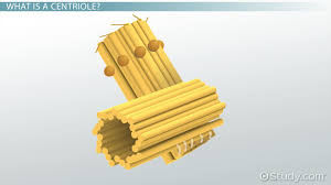 centriole definition structure u0026 function video u0026 lesson