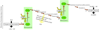 What Happens During The Light Dependent Reactions Of Photosynthesis Photosynthesis Wikipedia