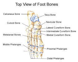 Anatomy Of The Human Skeleton Foot U0026 Ankle Anatomy Foot Anatomy Healthcommunities Com
