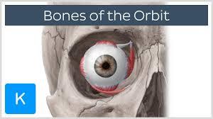 Anatomy Of Human Body Bones Skull Bones Of The Orbit Human Anatomy Kenhub Youtube