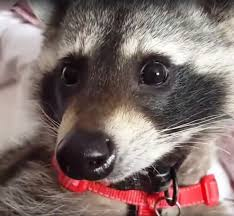 monday cute therapy raccoon cody the mary sue
