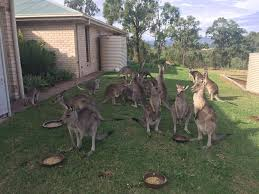 australia to cull more than a million kangaroos this year the