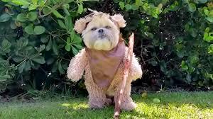 star wars u0027 fans munchkin the dog u0027s cute ewok impression is a must