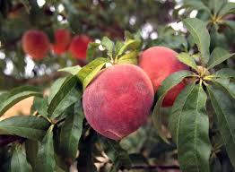 What Fruit Trees Grow In Texas - growing peaches on a backyard tree isn u0027t as tough as it seems