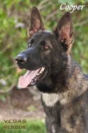 australian shepherd rescue las vegas adopted dogs vegas shepherd rescue