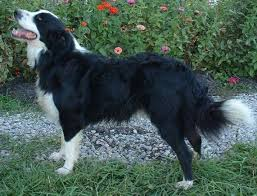 lifespan of australian shepherd english shepherd information pictures reviews and q u0026a