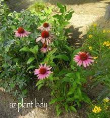 attract birds and butterflies with coneflowers birds and blooms
