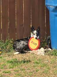 june dog of the month u2013 kable zoom room dog training