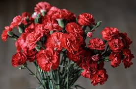 carnations flowers carnation flower images pixabay free pictures