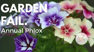 Phlox Flower How Not To Grow Annual Phlox Ornamental Cut Flower Gardening P