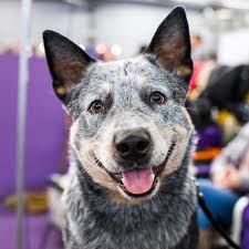 australian shepherd crufts 2015 the dogist thedogist on instagram clyde australian cattle dog