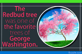 numerous redbud tree facts that make for an interesting read