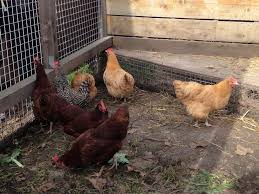 poultry website answers questions about chickens anr report