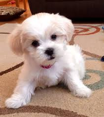 list of shih haircut best 25 dog haircuts ideas on pinterest dog grooming styles