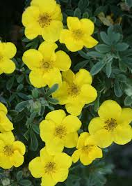 Yellow Flowering Bushes And Shrubs Happy Face Yellow Potentilla Fruticosa Proven Winners