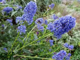 california native plant nurseries ceanothus u0027julia phelps u0027 u2013 the watershed nursery