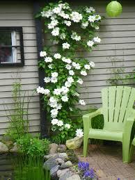 garten balkon clematis kletterpflanze tipps zum pflanzen pflegen und schneiden