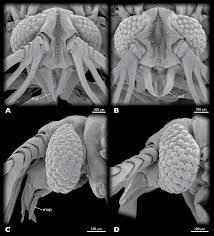 a new species of mengenilla insecta strepsiptera from tunisia