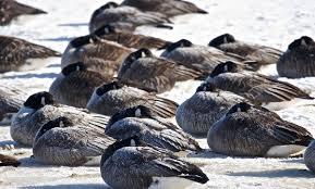 Ontario Backyard Birds How Do Feathers Keep Birds Warm Audubon