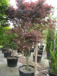 exterior design appealing bloodgood japanese maple with outdoor