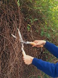pruning climbing plants when to prune ivy wall shrubs