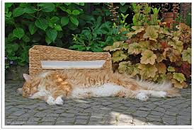 what percentage of orange tabby cats are female poc