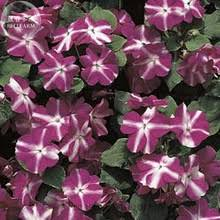 vinca flower buy vinca flower seeds and get free shipping on aliexpress