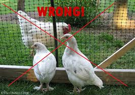 the chicken quarantine of backyard chickens when and how