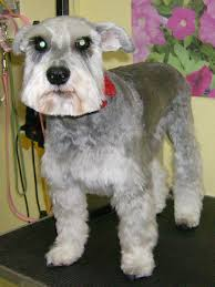 hair cuts for the tebelan terrier lessons from a groomer what s a teddy bear cut pethelpful