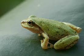 pacific tree frog burke museum