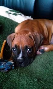 boxer dog quebec boxer rescue quebec adopt and rescue a boxer dog duncan crazy