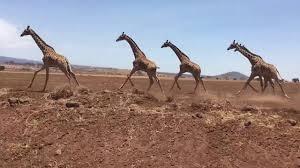 herd of giraffes running in tanzania africa youtube