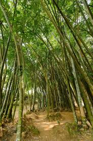 best 25 bamboo growth rate ideas on pinterest bamboo privacy