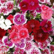 dianthus flower dianthus diamond mixed garden ready thompson