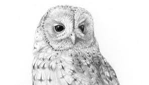 tawny owl u2013 a new pencil drawing u2013 the hazel tree