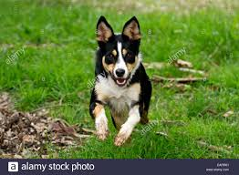 bearded collie x border collie puppies for sale collie cross stock photos u0026 collie cross stock images alamy