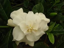 gardenia is a high maintenance beauty the garden bench
