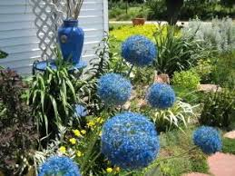 60 best alliums images on bulbs flowers and garden ideas