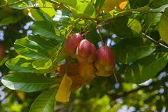 Ackee Fruit Tree - ackee fruit on tree stock image image of leaves edible 15493107