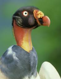 sarcoramphus papa photos the world u0027s ugliest animals bird