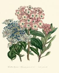 botanical print set of 6 art print loudon antique hydrangea aster