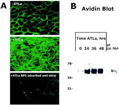 bpi si e social lipid mediator induced expression of bactericidal permeability