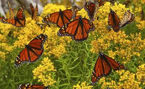 native plants of the midwest a comprehensive guide to the best how to raise monarch butterflies modern farmer