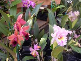 orchids for sale orchids johnny mangos