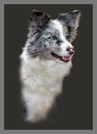australian shepherd crufts 2015 ruskath working sheepdogs and dog training dog training in cheshire