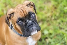 boxer dog european american boxer dogs vs german boxer dogs cuteness