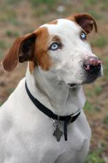 bluetick coonhound florida view ad bluetick coonhound catahoula leopard dog mix dog for