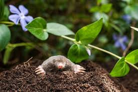 Where Can You Find Snails In Your Backyard How To Get Rid Of Moles In Your Yard Mnn Mother Nature Network