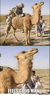 Camel Memes - camel memes best collection of funny camel pictures