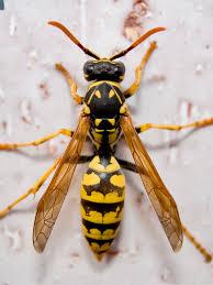 avispa insects wasp and animal